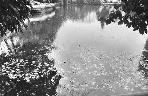 福大旧校区湖内现大面积死鱼 死因未知