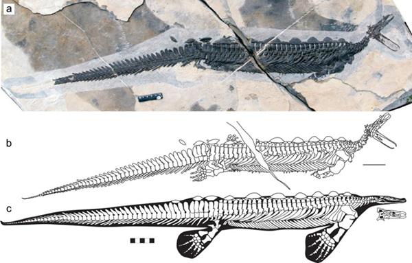我国发现2.48亿年前头部像鸭嘴兽的龙化石